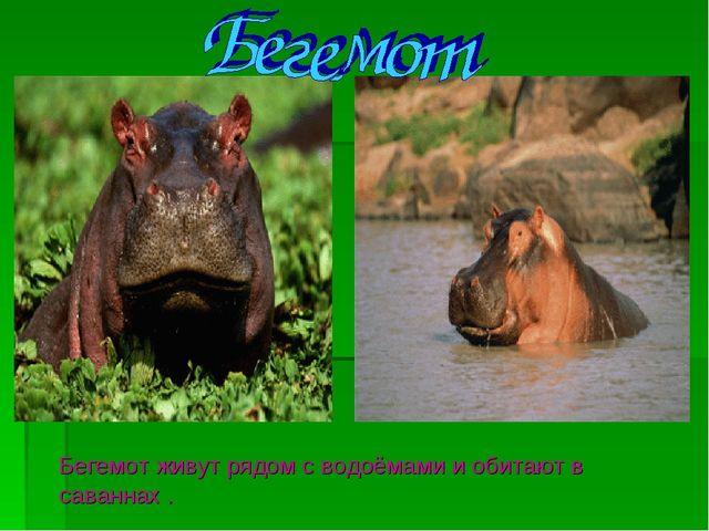 Бегемот живут рядом с водоёмами и обитают в саваннах .