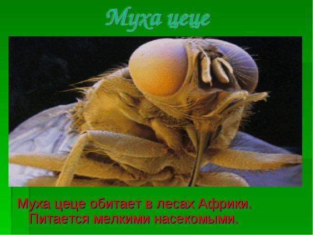 Муха цеце обитает в лесах Африки. Питается мелкими насекомыми.