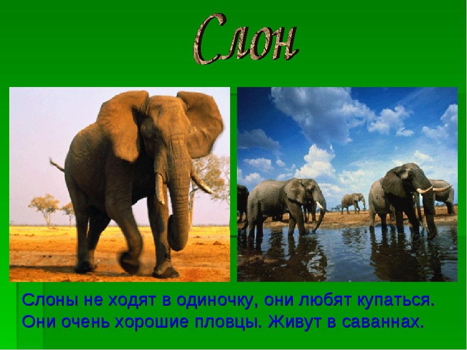 Слоны не ходят в одиночку, они любят купаться. Они очень хорошие пловцы. Живу...