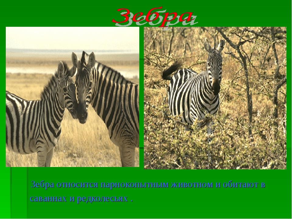 Зебра относится парнокопытным животном и обитают в саваннах и редколесьях .