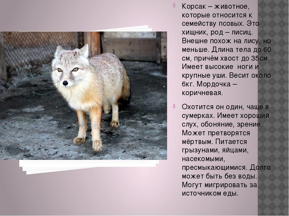 Корсак – животное, которые относится к семейству псовых. Это хищник, род – л...