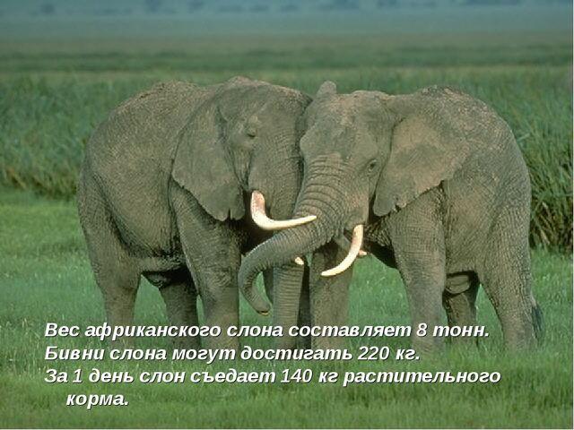 Вес африканского слона составляет 8 тонн. Бивни слона могут достигать 220 кг....