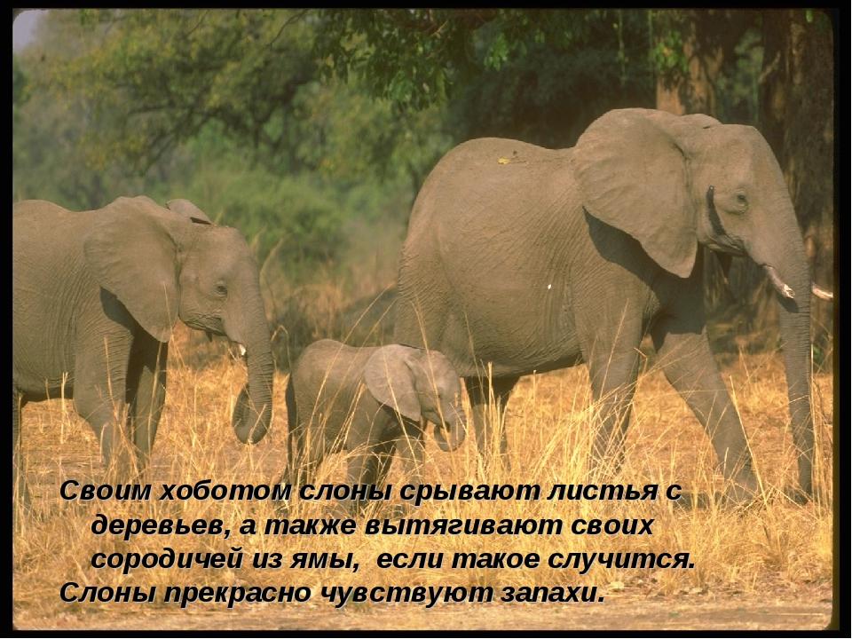 Своим хоботом слоны срывают листья с деревьев, а также вытягивают своих сород...