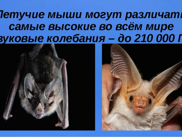 Летучие мыши могут различать самые высокие во всём мире звуковые колебания –...