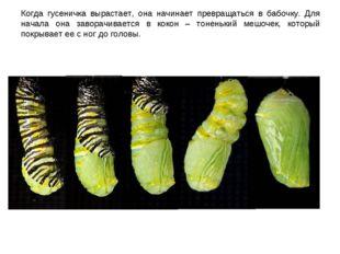 Когда гусеничка вырастает, она начинает превращаться в бабочку. Для начала он