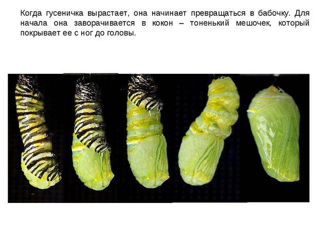 Когда гусеничка вырастает, она начинает превращаться в бабочку. Для начала он...