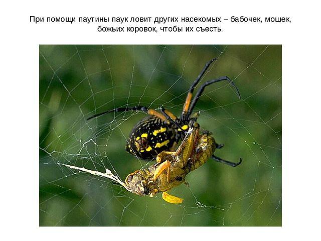 При помощи паутины паук ловит других насекомых – бабочек, мошек, божьих коров...