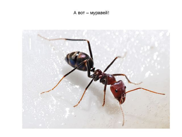 А вот – муравей!