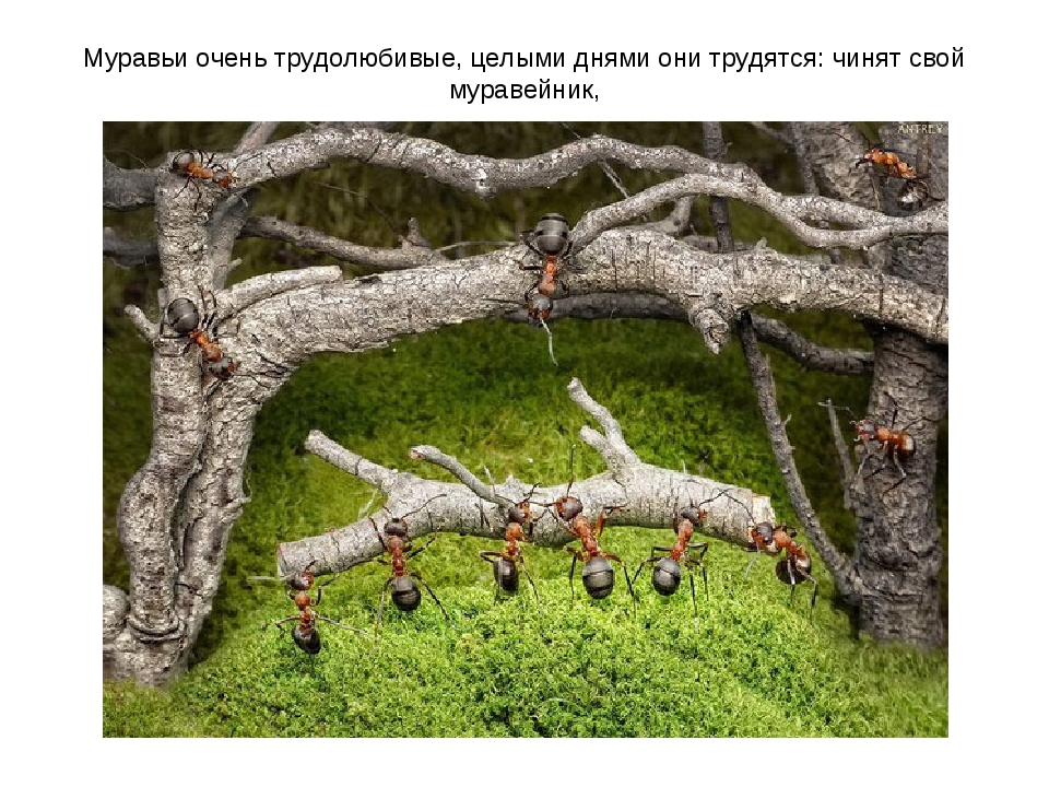 Муравьи очень трудолюбивые, целыми днями они трудятся: чинят свой муравейник,