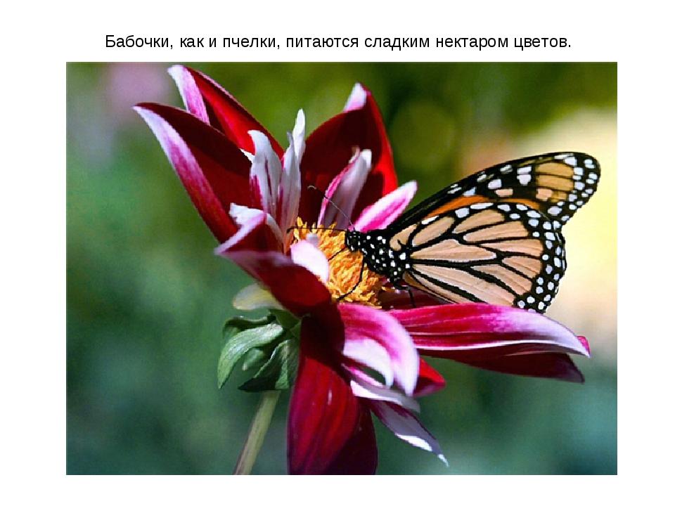 Бабочки, как и пчелки, питаются сладким нектаром цветов.
