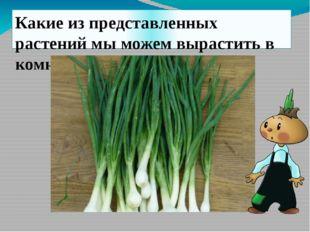 Семейство луковых Лук-батун Лук-порей Лук-слизун Шнитт-лук Душистый лук Декор