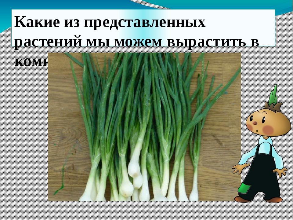 Семейство луковых Лук-батун Лук-порей Лук-слизун Шнитт-лук Душистый лук Декор...