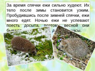 За время спячки ежи сильно худеют. Их тело после зимы становится узким. Пробу