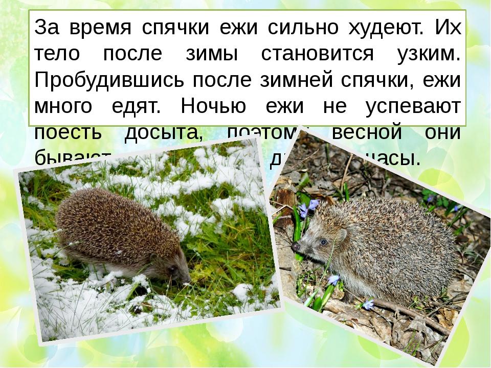 За время спячки ежи сильно худеют. Их тело после зимы становится узким. Пробу...