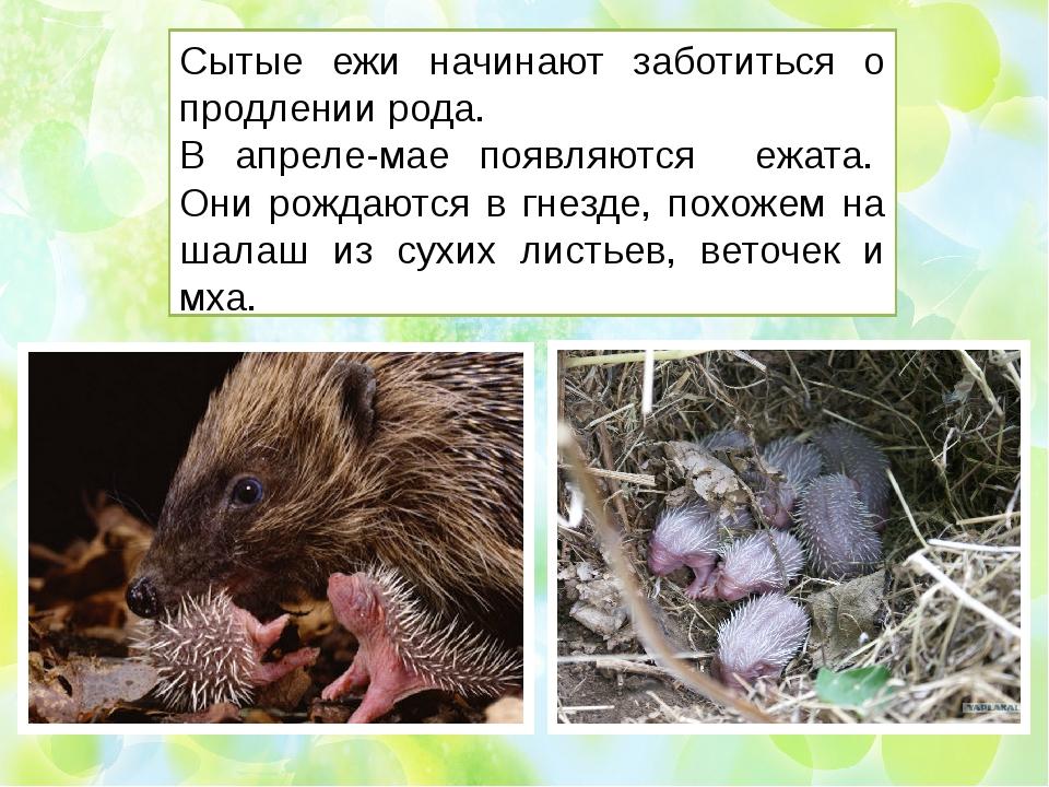 Сытые ежи начинают заботиться о продлении рода. В апреле-мае появляются ежата...