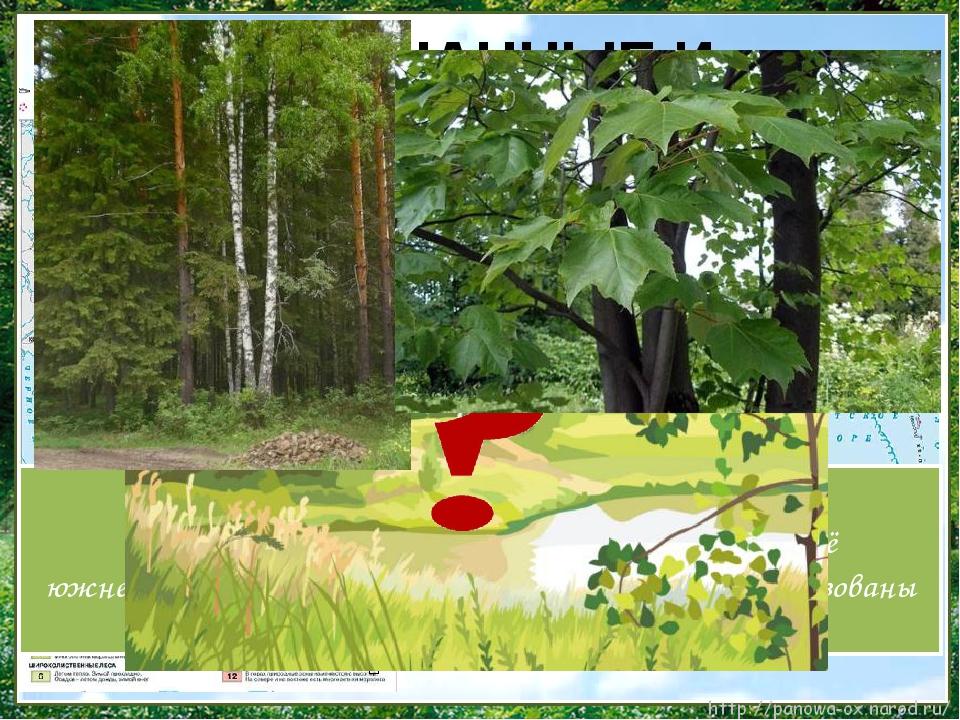 ʹ К югу на смену тайге приходит смешанный лес. В нём растут хвойные и листвен...
