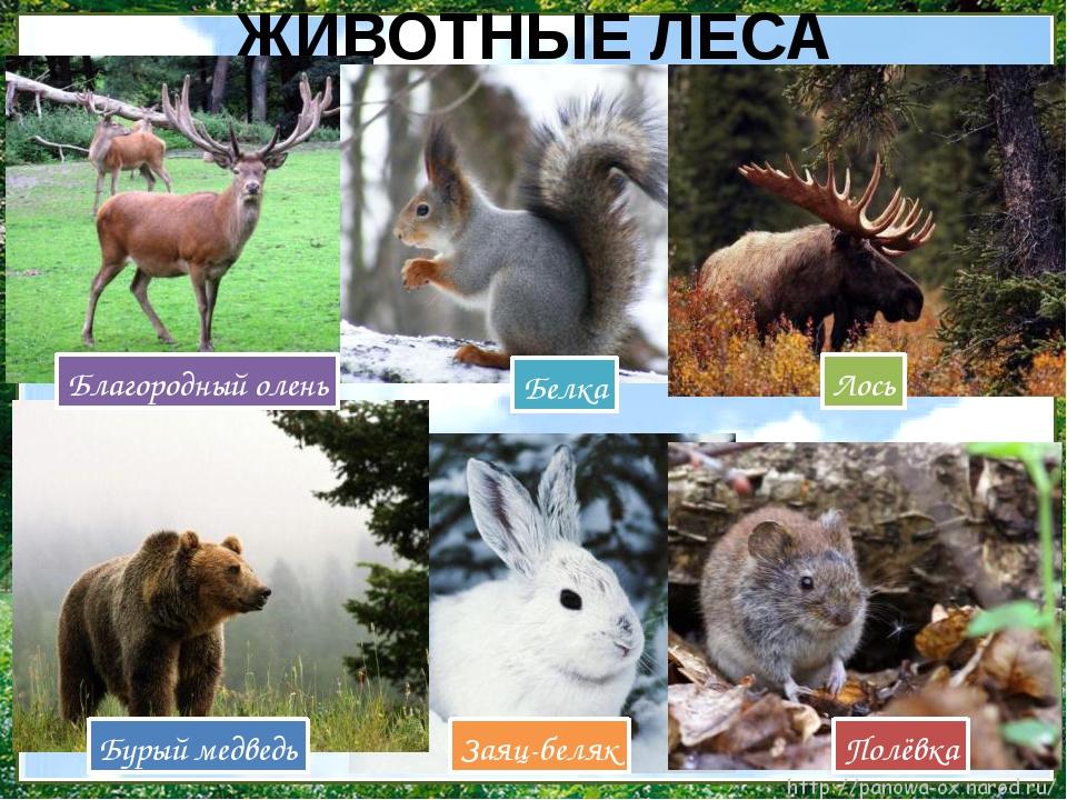 ЖИВОТНЫЕ ЛЕСА Полёвка Белка Лось Заяц-беляк Бурый медведь Благородный олень