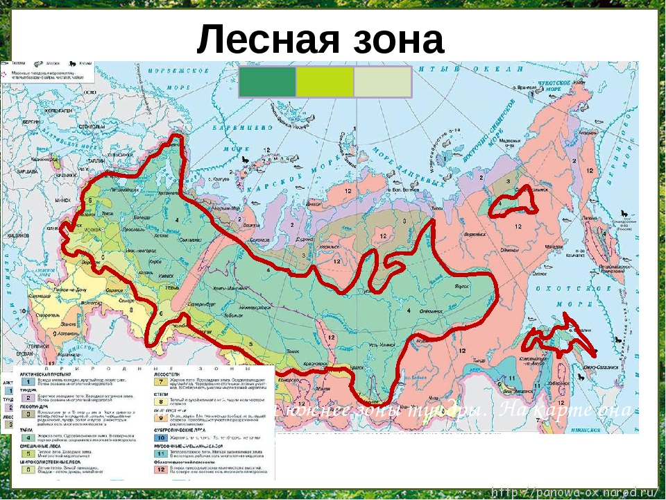 Лесная зона находится южнее зоны тундры. На карте она обозначена зелёным цв...