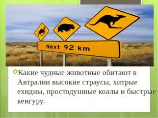 Какие чудные животные обитают в Автралии высокие страусы, хитрые ехидны, прос