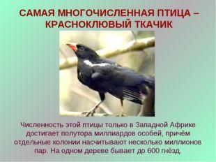 САМАЯ МНОГОЧИСЛЕННАЯ ПТИЦА – КРАСНОКЛЮВЫЙ ТКАЧИК Численность этой птицы тольк