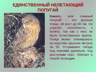 ЕДИНСТВЕННЫЙ НЕЛЕТАЮЩИЙ ПОПУГАЙ Какапо, или совиный попугай – это крупная пти