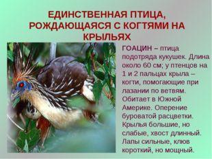 ЕДИНСТВЕННАЯ ПТИЦА, РОЖДАЮЩАЯСЯ С КОГТЯМИ НА КРЫЛЬЯХ ГОАЦИН – птица подотряда