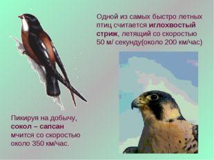 Одной из самых быстро летных птиц считается иглохвостый стриж, летящий со ско