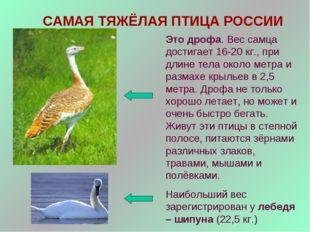 САМАЯ ТЯЖЁЛАЯ ПТИЦА РОССИИ Это дрофа. Вес самца достигает 16-20 кг., при длин