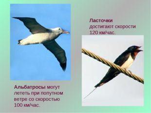 Альбатросы могут лететь при попутном ветре со скоростью 100 км/час. Ласточки