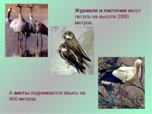 Журавли и ласточки могут летать на высоте 2000 метров. А аисты поднимаются вв