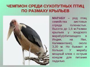 ЧЕМПИОН СРЕДИ СУХОПУТНЫХ ПТИЦ ПО РАЗМАХУ КРЫЛЬЕВ МАРАБУ – род птиц семейства