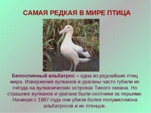 САМАЯ РЕДКАЯ В МИРЕ ПТИЦА Белоспинный альбатрос – одна из редчайших птиц мира