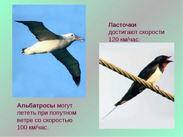 Альбатросы могут лететь при попутном ветре со скоростью 100 км/час. Ласточки...
