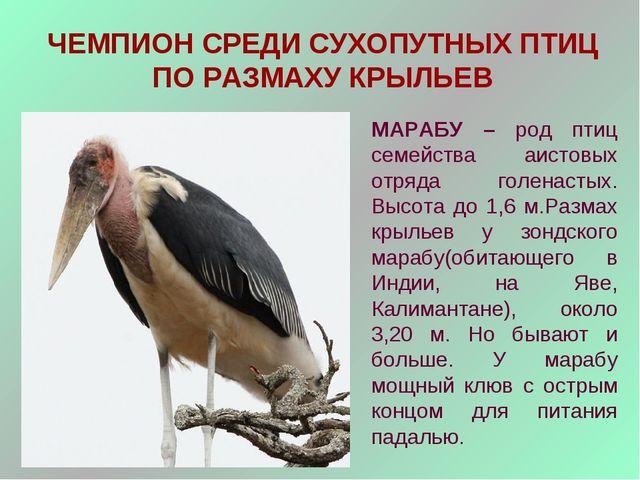 ЧЕМПИОН СРЕДИ СУХОПУТНЫХ ПТИЦ ПО РАЗМАХУ КРЫЛЬЕВ МАРАБУ – род птиц семейства...