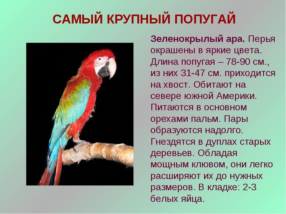 САМЫЙ КРУПНЫЙ ПОПУГАЙ Зеленокрылый ара. Перья окрашены в яркие цвета. Длина п...