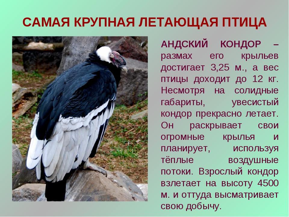 САМАЯ КРУПНАЯ ЛЕТАЮЩАЯ ПТИЦА АНДСКИЙ КОНДОР – размах его крыльев достигает 3,...