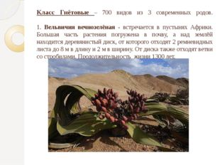 Класс Гнётовые – 700 видов из 3 современных родов. 1. Вельвичия вечнозелёная