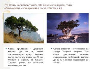 Сосна крымская – достигает высоты до 40 м, имеет зонтиковидную крону. Хвоинки
