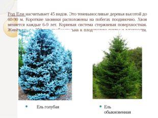Род Ели насчитывает 45 видов. Это теневыносливые деревья высотой до 60-90 м.