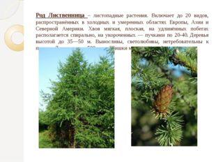 Род Лиственница – листопадные растения. Включает до 20 видов, распространённы
