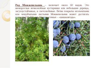 Род Можжевельник – включает около 60 видов. Это низкорослые вечнозелёные куст