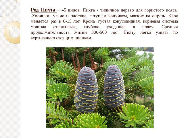 Род Пихта – 45 видов. Пихта - типичное дерево для гористого пояса. Хвоинки у...