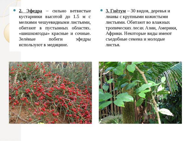 2. Эфедра – сильно ветвистые кустарники высотой до 1.5 м с мелкими чешуевидны...
