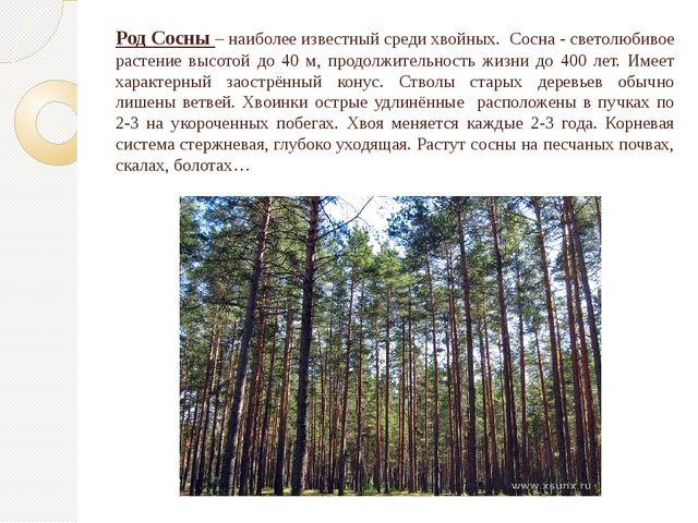 Род Сосны – наиболее известный среди хвойных. Сосна - светолюбивое растение в...