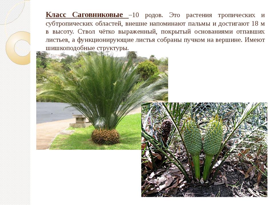 Класс Саговниковые –10 родов. Это растения тропических и субтропических облас...