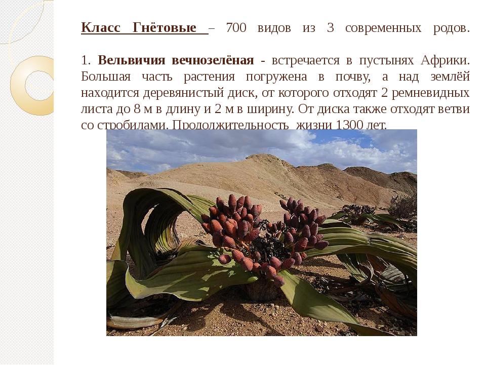 Класс Гнётовые – 700 видов из 3 современных родов. 1. Вельвичия вечнозелёная...