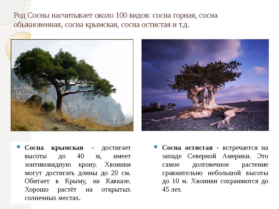 Сосна крымская – достигает высоты до 40 м, имеет зонтиковидную крону. Хвоинки...