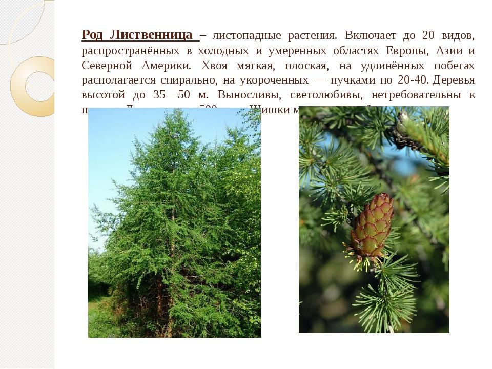 Род Лиственница – листопадные растения. Включает до 20 видов, распространённы...