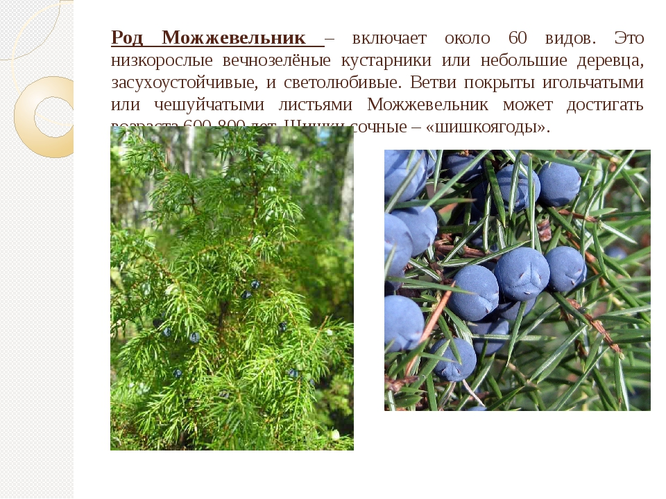 Род Можжевельник – включает около 60 видов. Это низкорослые вечнозелёные куст...