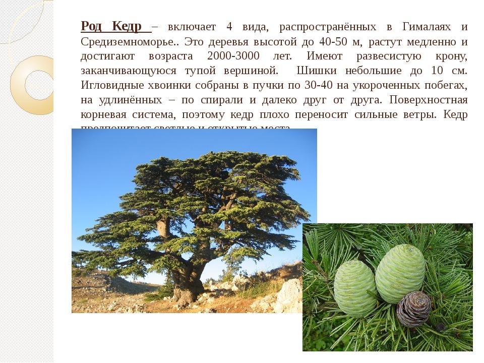 Род Кедр – включает 4 вида, распространённых в Гималаях и Средиземноморье.. Э...